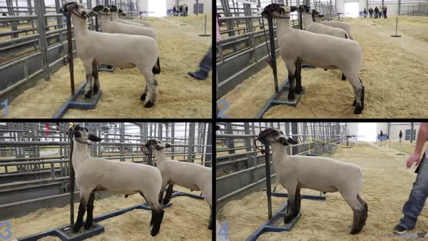 2017 2017 SALE Youth Livestock